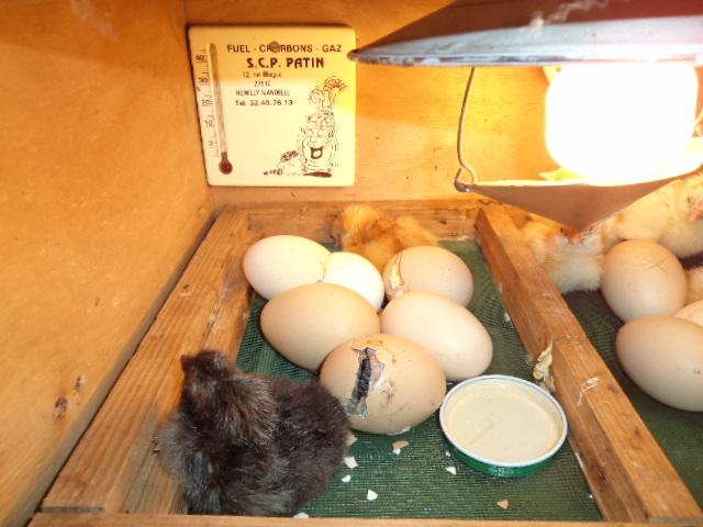 Qui de l oeuf ou de la poule institut saint dominique for Oeuf de poule conservation